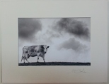 Cow II Llyn Perninsula 2011 £35 Mounted and wrapped