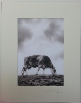 Cow I Llyn Perninsula 2011 £35 Mounted and wrapped
