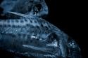 Fish, Matt Gartside